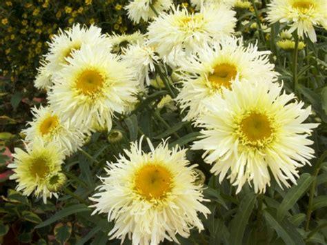Zieda krāsa: Dzeltena