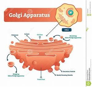 Golgi Apparatus Vector Illustration  Labeled Microscopic