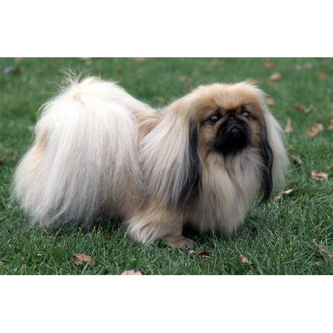 cute dogs cute pekingese dog
