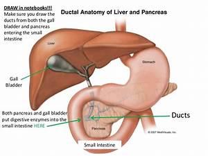 Digestive System Accessory Organs