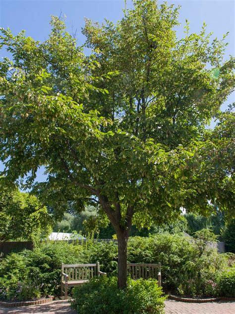 ironwood chicago botanic garden