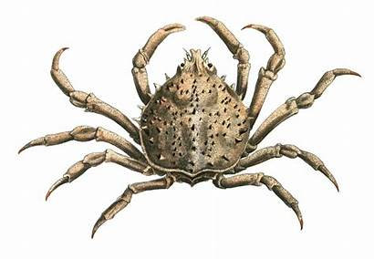 Crab Spider Common Emarginata Portly Crabs Recipes