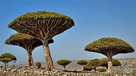 Unusual Trees In Africa Wallpapers And Images Wallpapers