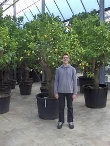 Bäume Für Kübel : k belpflanzen kaufen kuebelpflanzen schatten k belpflanze ~ Michelbontemps.com Haus und Dekorationen