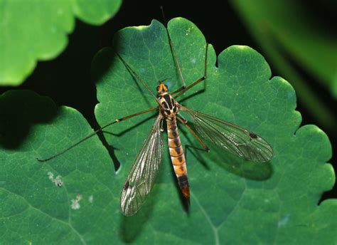 Crane Fly Wikipedia