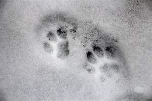 The gallery for --> Identify Animal Tracks In Snow