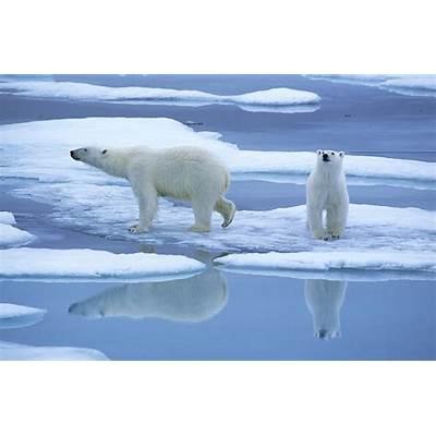 Polar Bear Ursus Maritimus Pair On Ice Photograph by Rinie
