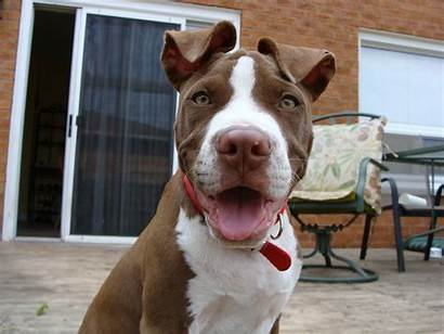 Pitbull Pit Bull Wallpapers American Dogs Dog