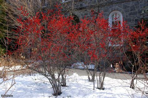 what deciduous tree has berries in winter winter berries hgtv