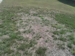 grubs in grass photos ilex vs grubs in the lawn midwestern plants