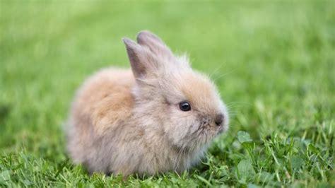 gabbie per coniglio nano come allevare un coniglio nano deabyday tv