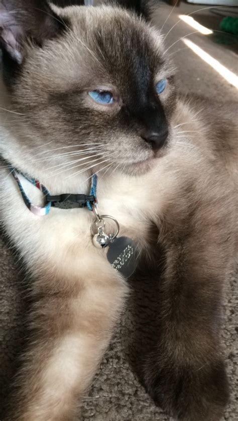 Siamese Mix Cat Photos Thriftyfun