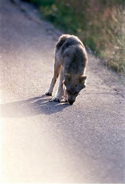 Wolf Michigan Mi Wolves Pup Three Hunt