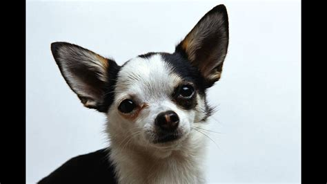 short haired chihuahua youtube