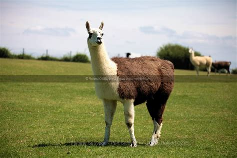 photo lama planete sauvage port pere photo vend 233 e