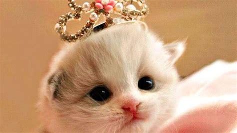 gambar  wallpaper kucing lucu comel kualitas hd anggora