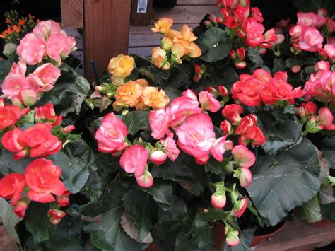 begonia care indoors google images