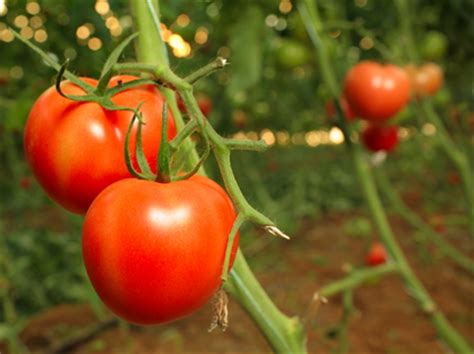 cultivation of tomatoes how to cure sick tomato plants