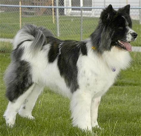 image gallery long haired american akita