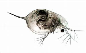 Daphnia Pulex By Ghyselenbert On Deviantart