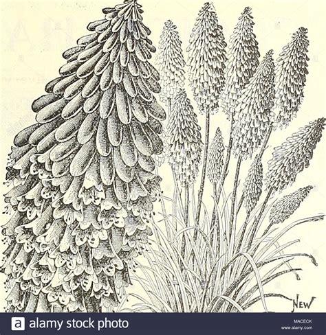 listino prezzi piante da giardino vinca minor alba immagini vinca minor alba fotos stock
