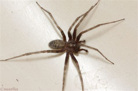 Barn Spider Bite by Barn Funnel Weaver Spider American Insects Spiders