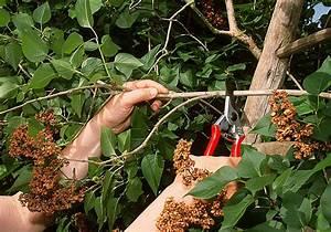 Taille Du Lilas Des Indes : comment tailler le lilas ~ Nature-et-papiers.com Idées de Décoration