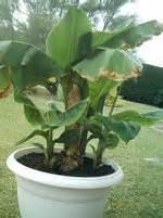 naissance de bbs bananiers forums plantes exotiques