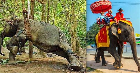 elephant ride  dodo