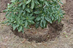 Quand Planter Le Muguet : quand planter les rhododendrons photo de fleur une ~ Melissatoandfro.com Idées de Décoration