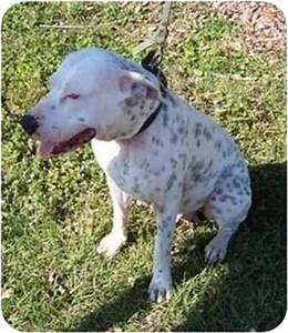 Dallie | Adopted Dog | Homestead, FL | Dalmatian/American ...