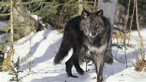 Desktop black timber wolf images download