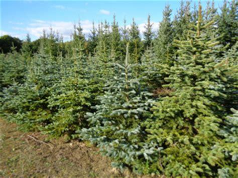 bauers weihnachtsbaum bauer nietsch tiefensee hofladen mosterei und weihnachtsb 228 ume ytti