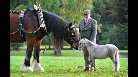 horse breeds horses most mini miniature american shire popular silver there