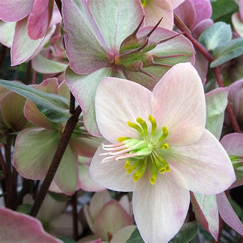 hellebores growing conditions the flower garden the best new shade perennials for 2014