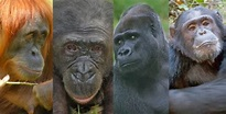 Diary of a Primatologist: #Apeweek - Day 5 Round up of the ...