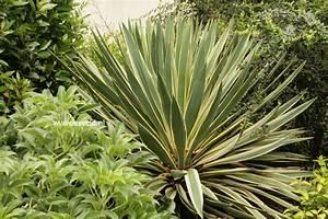 Picture and description of Yucca gloriosa 'Variegata'