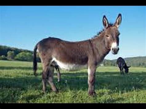 cruza de yegua  caballo fino horse mating