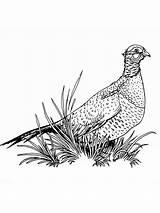 Pheasant Coloring Ausmalbilder Fasan Pheasants Ausdrucken Malvorlagen Kostenlos Zum Drawings Birds Designlooter sketch template