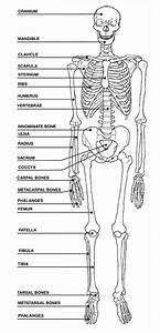 View Full Size More Human Skeleton Blank Diagram Pic 20