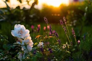 Rosen Und Lavendel : rosenbeet mit lavendel gestalten das sollten sie bedenken ~ Yasmunasinghe.com Haus und Dekorationen
