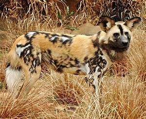 african painted wild dog photos