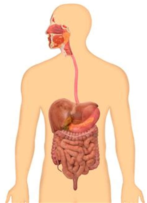 digestive system images human body systems body