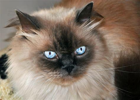 El gato, main character in the novel keeper by mal peet. Gato Himalaia: tudo o que precisa de saber sobre esta raça