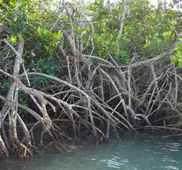 Mangroves are a group of trees and shrubs that live in the coastal