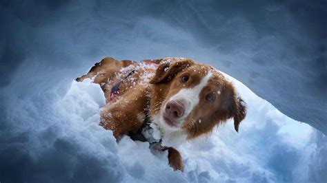 lawinenhunde schweiz training rassen wallis daniel zeiter