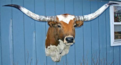headmount gallery longhorns head  tail store