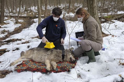 Species (c) kir de labeo. Radioactive Wolves | Gallery | Nature | PBS