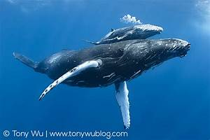 Injured Humpback Whale Calf Blowing Bubbles | Limited ...