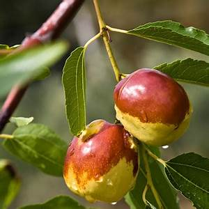 Jujube Tree for Sale | Fast-Growing-Trees.com